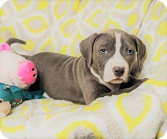 Boxer/American Bulldog Mix Puppy for adoption in Harrisburg, Pennsylvania - LUCILLE