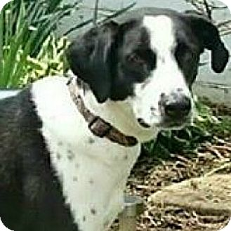 Pointer Mix Dog for adoption in New Richmond,, Wisconsin - Riley