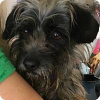 Adopt A Pet :: Ronnie - Studio City, CA