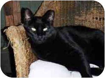 Domestic Shorthair Cat for adoption in Pasadena, California - Belle