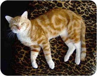 Domestic Shorthair Cat for adoption in Cincinnati, Ohio - Scotty