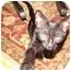 Photo 1 - American Shorthair Kitten for adoption in Cuyahoga Falls, Ohio - Minnie