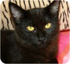 Domestic Shorthair Cat for adoption in Canoga Park, California - Magic