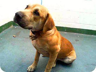 Labrador Retriever Mix Dog for adoption in Miami, Florida - Lucy