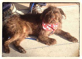 Affenpinscher/Shih Tzu Mix Dog for adoption in Phoenix, Arizona - Brett