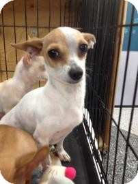 Chihuahua Mix Dog for adoption in Tucson, Arizona - Tochi