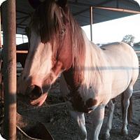 Adopt A Pet :: LACY - Riverside, CA