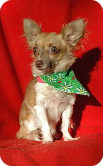 Chihuahua Dog for adoption in Lawrenceville, Georgia - Foxy