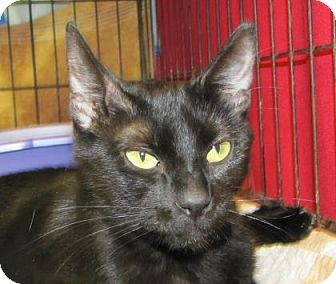 Domestic Shorthair Cat for adoption in Woodstock, Illinois - Fleayonce Knowles
