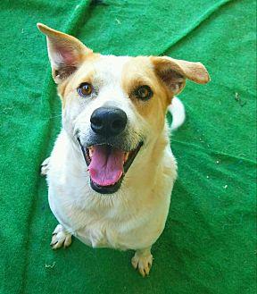 Blue Heeler/Shepherd (Unknown Type) Mix Dog for adoption in Graceville, Florida - Sadie  #6