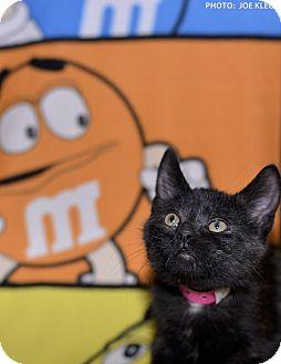 Domestic Shorthair Kitten for adoption in Medina, Ohio - Scary Spice