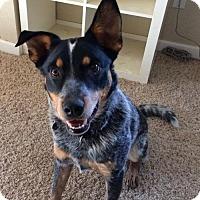Adopt A Pet :: Whiskey - Santa Rosa, CA