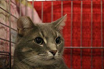 Domestic Shorthair Cat for adoption in Middletown, Ohio - Finn