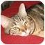 Photo 1 - Domestic Shorthair Cat for adoption in Cincinnati, Ohio - Gypsy