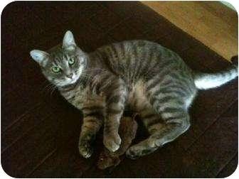 Domestic Shorthair Cat for adoption in Tustin, California - Nina