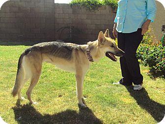 German Shepherd Dog Dog for adoption in Litchfield Park, Arizona - Katie - Only $75 adoption fee!