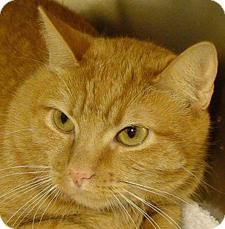 Domestic Shorthair Cat for adoption in El Cajon, California - Gracie
