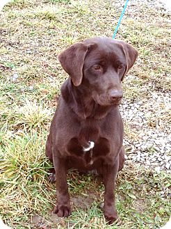 Labrador Retriever Mix Dog for adoption in Zanesville, Ohio - # 489-12 @ Animal Shelter