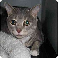 Adopt A Pet :: Payton DECLAWED - Chesapeake, VA