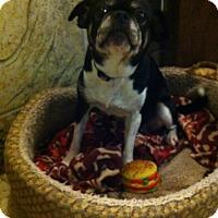Adopt A Pet :: Dixie - Vaudreuil-Dorion, QC