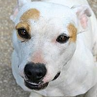 Pit Bull Terrier Dog for adoption in Memphis, Tennessee - Willow