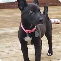 Adopt A Pet :: Ember - Knoxville, TN