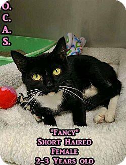 Domestic Shorthair Cat for adoption in Triadelphia, West Virginia - Petco2- Fancy