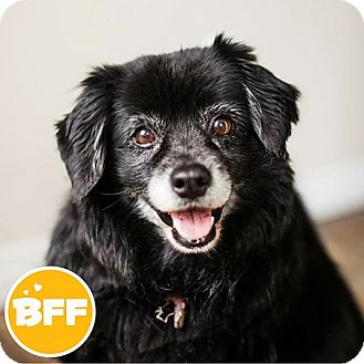 American Eskimo Dog/Cocker Spaniel Mix Dog for adoption in Edmonton, Alberta - Samantha