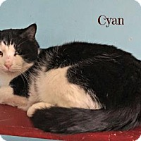 Adopt A Pet :: Cyan - West Des Moines, IA