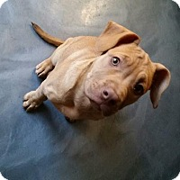 Adopt A Pet :: Latte - bridgeport, CT
