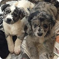 Adopt A Pet :: AUSSIE TRIO - MILWAUKEE, WI