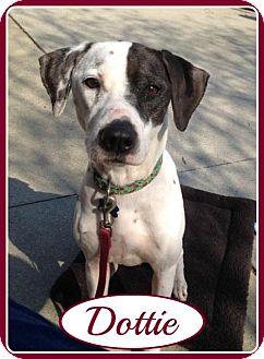 Dalmatian Mix Dog for adoption in Raleigh, North Carolina - Dottie