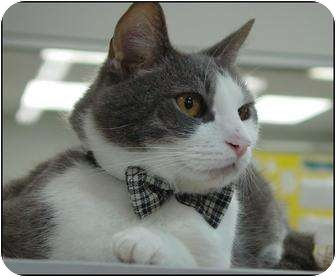 Domestic Shorthair Cat for adoption in Chesapeake, Virginia - Willy
