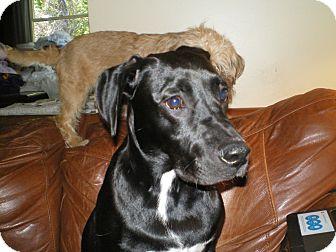 Labrador Retriever/Shepherd (Unknown Type) Mix Puppy for adoption in Apex, North Carolina - Maya