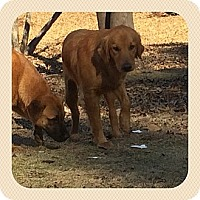 Adopt A Pet :: Whitney - Fort Valley, GA