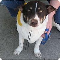 Adopt A Pet :: Hank - Arlington, TX
