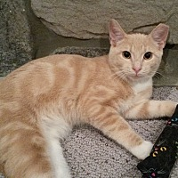 Domestic Shorthair Cat for adoption in Berkeley Hts, New Jersey - Bailey