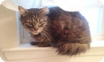 Maine Coon Cat for adoption in Devon, Pennsylvania - LA-George