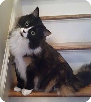 Domestic Longhair Cat for adoption in Germantown, Tennessee - Silverbell