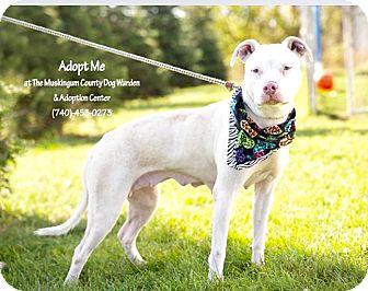 American Pit Bull Terrier Mix Dog for adoption in Zanesville, Ohio - Amelia - Urgent!
