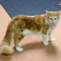 Adopt A Pet :: Pumpkin (kitten, special needs) - Watsontown, PA