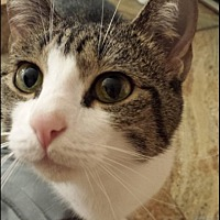 Domestic Shorthair Cat for adoption in Miami, Florida - Bella