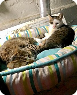 Domestic Shorthair Cat for adoption in Wantagh, New York - Tiger
