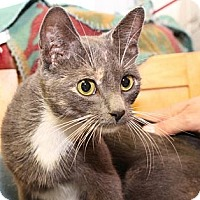Domestic Shorthair Cat for adoption in Winston-Salem, North Carolina - Clarice
