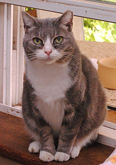 Domestic Shorthair Cat for adoption in Middletown, New York - Addy
