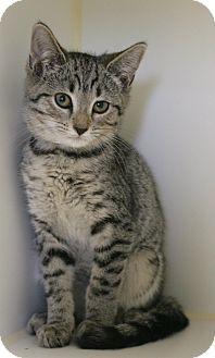 Domestic Shorthair Kitten for adoption in Staunton, Virginia - Beanie