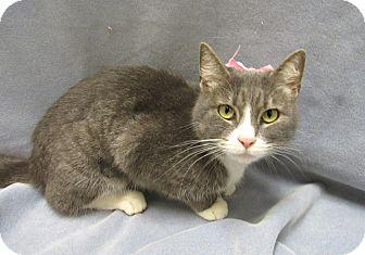 Domestic Shorthair Cat for adoption in Lexington, North Carolina - Sage