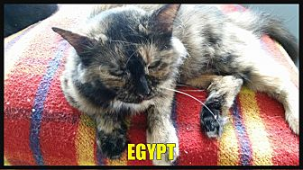 American Shorthair Cat for adoption in MADISON, Ohio - Egypt