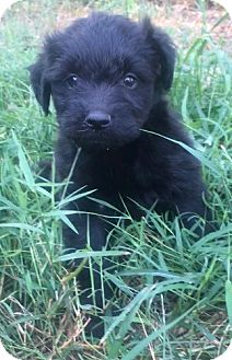 Labradoodle Mix Puppy for adoption in Sylacauga, Alabama - Annie