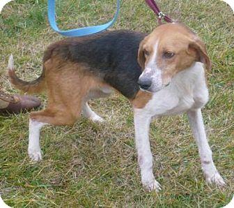 Treeing Walker Coonhound Mix Dog for adoption in Mineral, Virginia - Jasper, D10